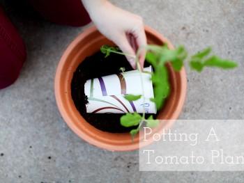 Potting A Tomato Plant